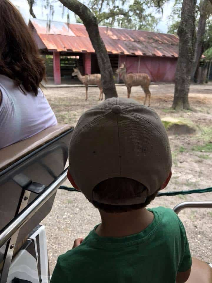 Boy looking at deer at the Zoo.