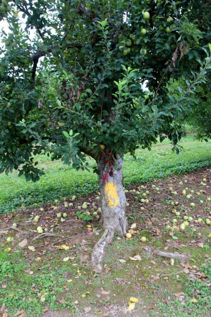 Stribling Orchard marked trees