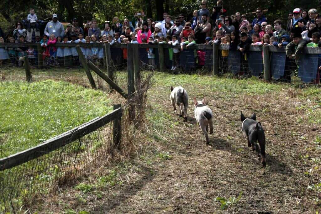 Great Country Farms Bluemont, Virginia pig races