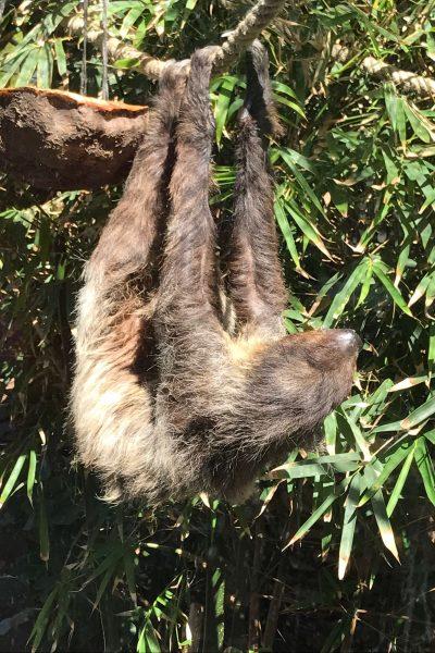 Loro Parque Tenerife Spain Sloth